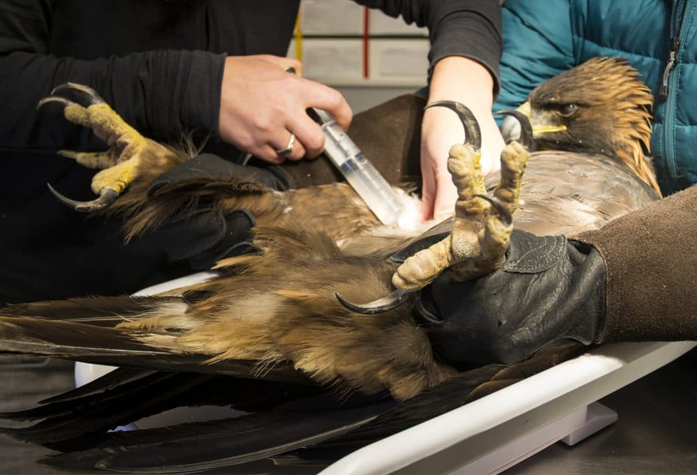 Meghan Warren, rehabilitation coordinator at the Teton Raptor Center, injects a golden eagle with fluids to treat dehydration. Becky Collier, a senior avian educator, extends the bird's legs so Warren can reach the injection site. Raptors don't typically drink water, but when they are sick or injured and unable to eat they become dehydrated and need fluids. (Steve Poole)