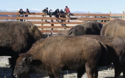People watch bison on the Wind River Indian Reservation. Ten bison were released onto 300 fenced-acres Nov. 3 marking the first time bison have been in the area for more than 130 years. (Judith Kohler/National Wildlife Federation)