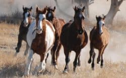Wild horse management is a divisive issue in the West. Management costs millions of dollars, yet little is known about how the animals use the range. A new study by the University of Wyoming and the Bureau of Land Management will use satellite collars to track horse movement for two years in the Adobe Town Herd Management Area near Rawlins. (Bureau of Land Management)