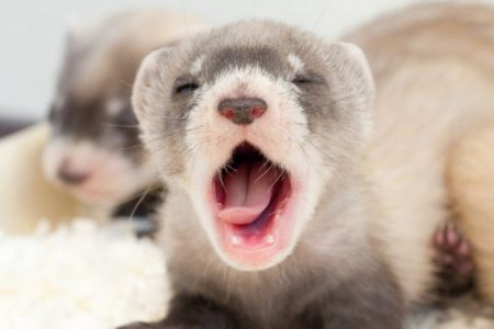 Black-footed ferrets are born blind but grow up to become fierce, albeit small, nighttime predators. (U.S. Fish and Wildlife Service)