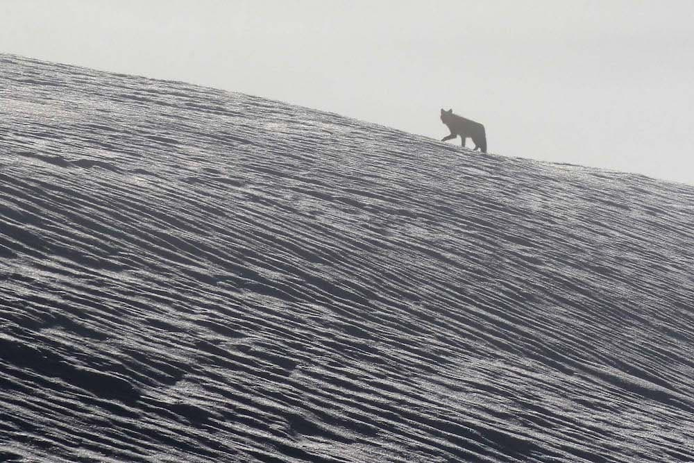 Bondurant wolf
