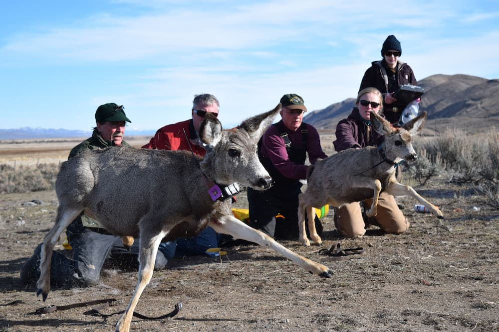 Devastated deer herd offers rare research opportunity