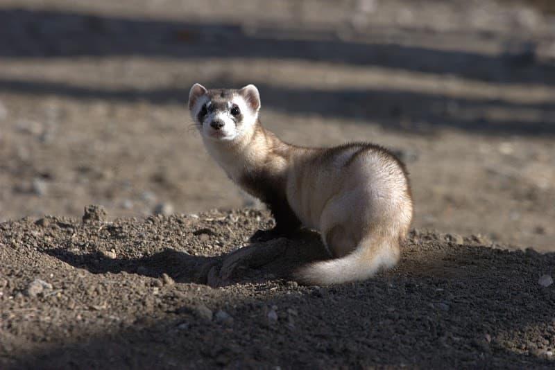As researchers clone ferrets, Wyo scientists emphasize habitat