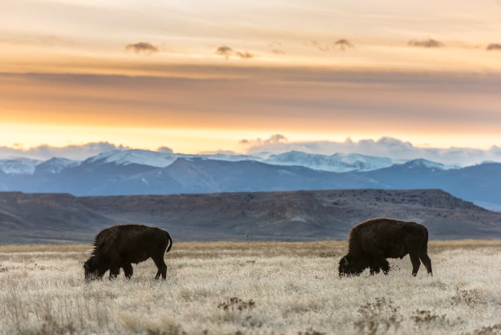 Through the lens | Bison return to Wind River | WyoFile