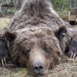 Wyoming sets next steps for grizzly control