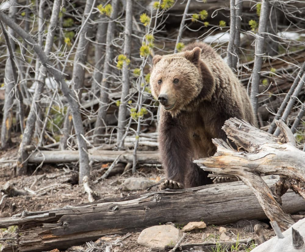Potential paths of the grizzly bear identified