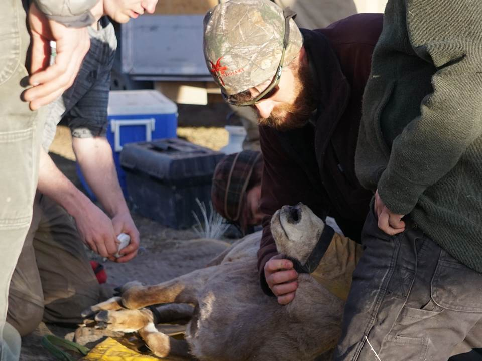 Advocates, students and agencies join forces for bighorn