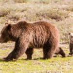 Wyoming hunt plan targets 24 grizzlies