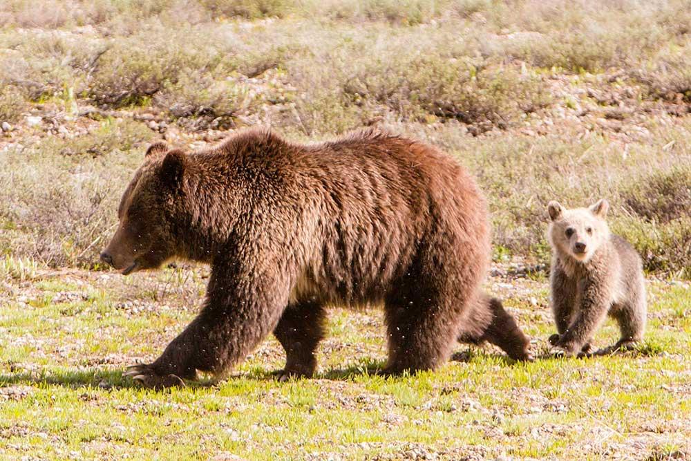 Wyoming hunt plan targets 24 grizzlies