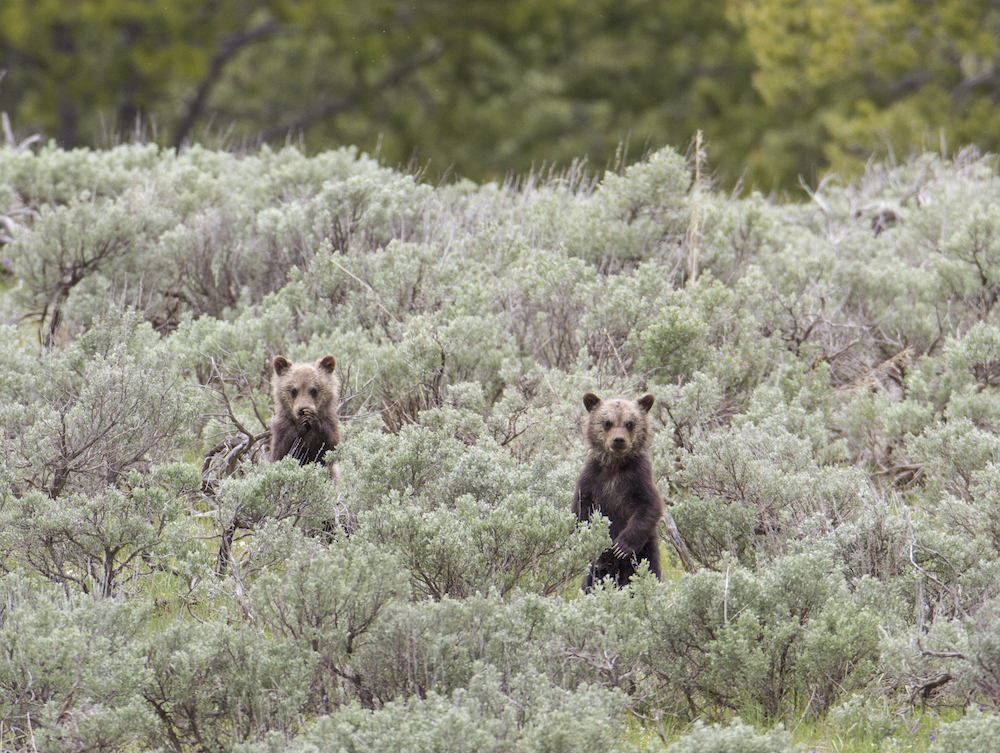 Grizzly census makeover proposal sparks conservation worries