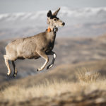 Mo the mulie becomes celebrity 'spokesdeer' for wild migration