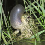 Sound science provides audio inventory of Wyoming's amphibians