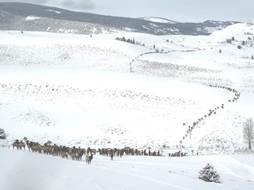 Elk populations booming ahead of hunting season | WyoFile