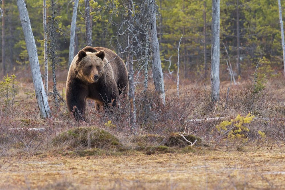 Judge reinstates Yellowstone grizzly protections