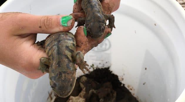 Wyoming's salamanders