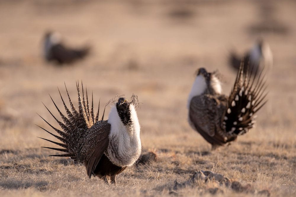 Gov. makes sage grouse 'expansion' voluntary in new order