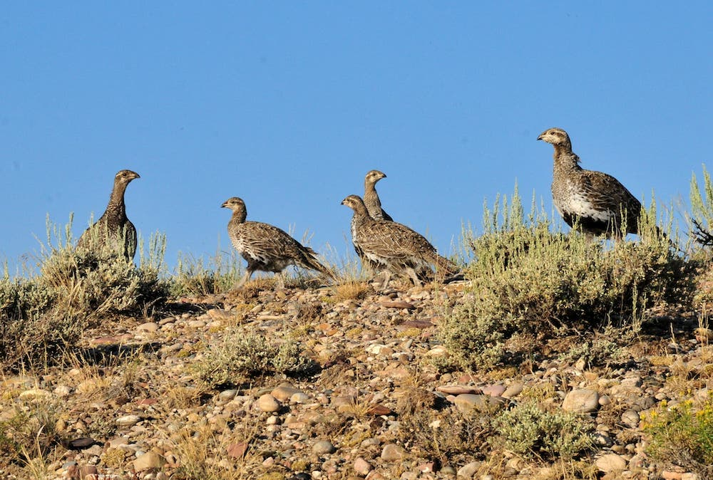 Wyoming's 2019 sage grouse count dips 21%