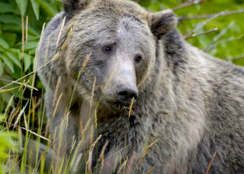 Pols, judge, greens lay conflicting claims to grizzly science