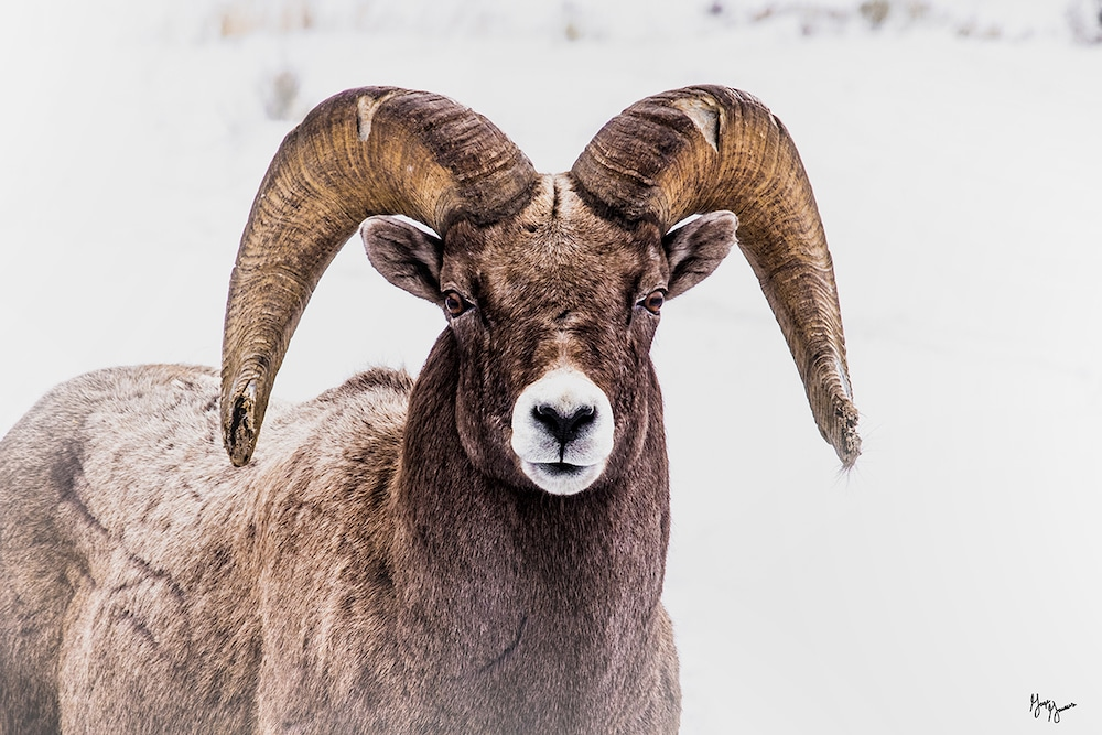 Ram on the range