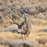 CWD plan targets mule deer bucks, eyes sharpshooters