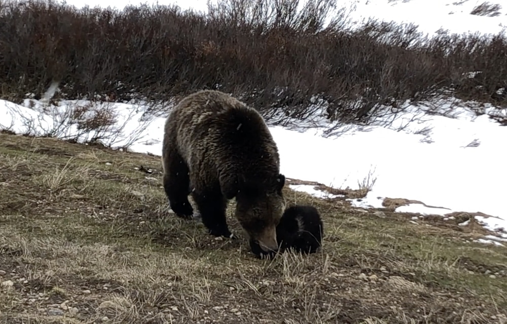 Grizzly conflicts, deaths down in 2019