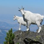 Goat gunning operation 'effective' before pause, feds say