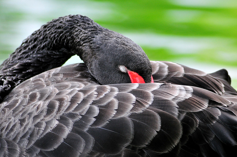 A black swan lands on Wyoming