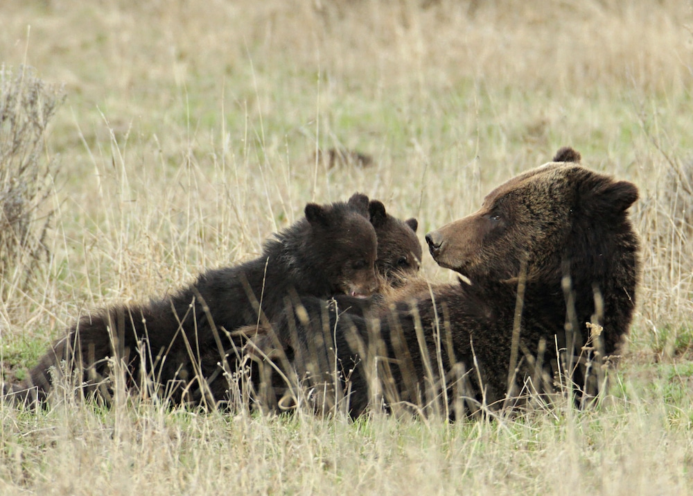 Judges question Wyoming's case for grizzly numbers