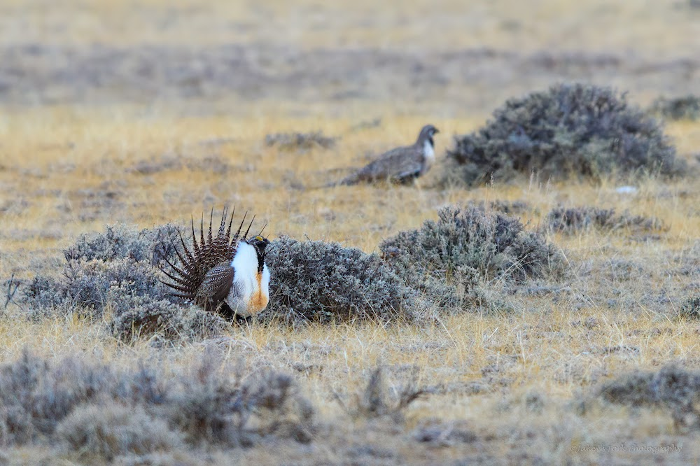 Montana sage grouse estimates jump 73% in 2020