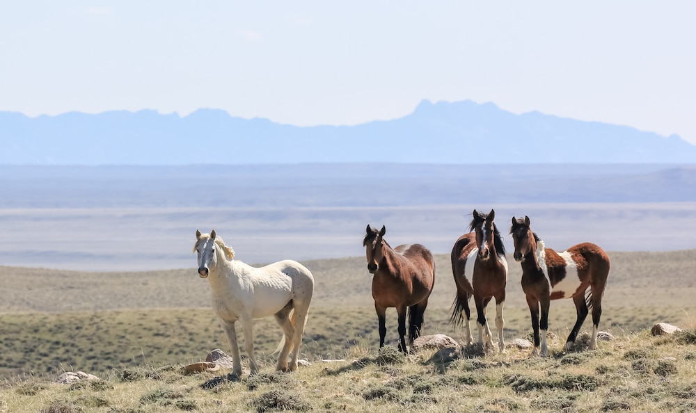 Mustangs and memories: BLM plan threatens Wyo's wild horses