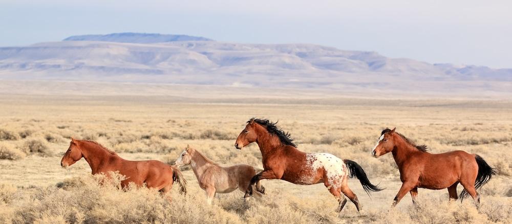 Mustangs and memories: BLM plan threatens Wyo's wild horses