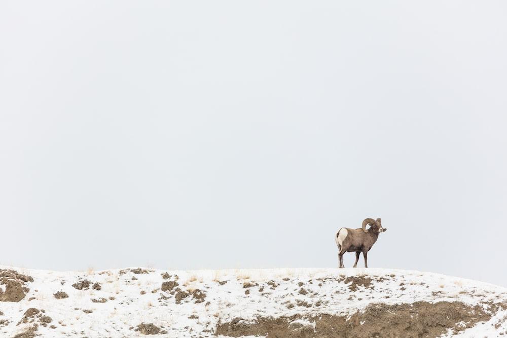 Domestic sheep grazing prompts emergency bighorn hunt