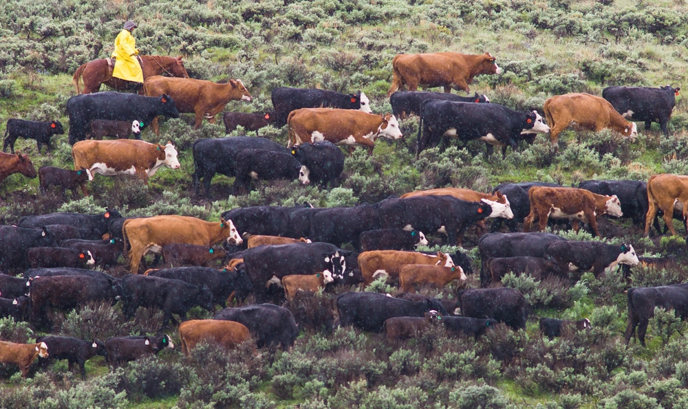 Grizzly conflicts central to new Upper Green River grazing debate