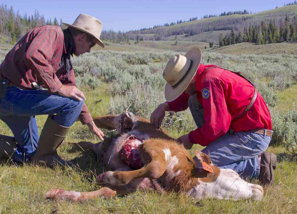 Grizzly CSI: Cutting to facts in a predator-livestock whodunit