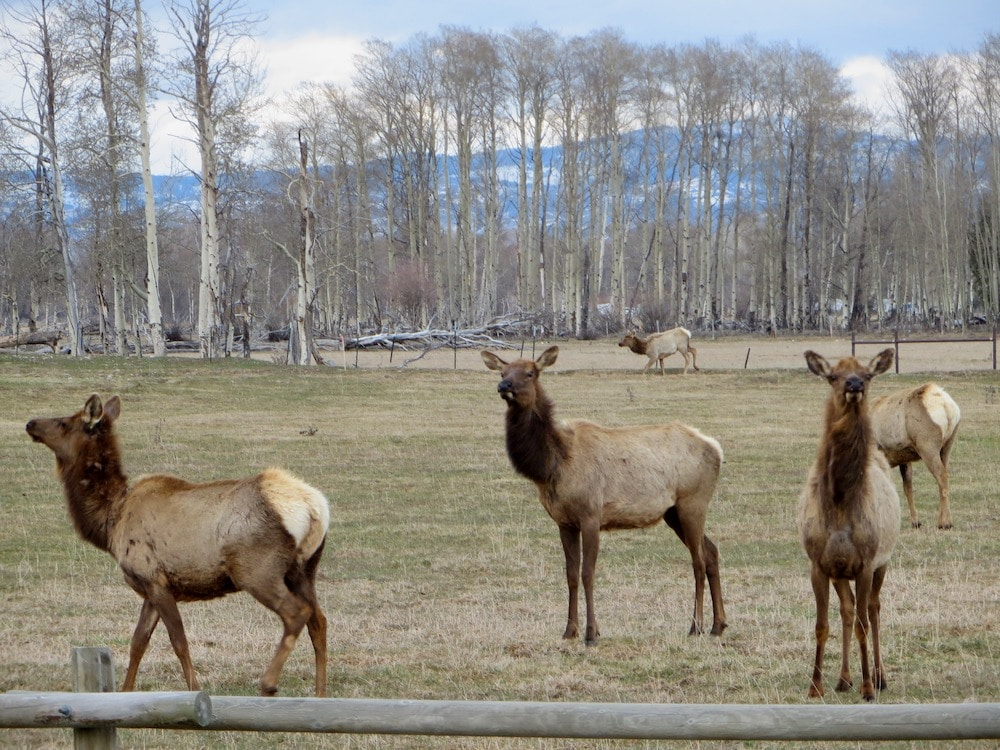 'Decade of the elk' for hunters as herds top goals by 32%