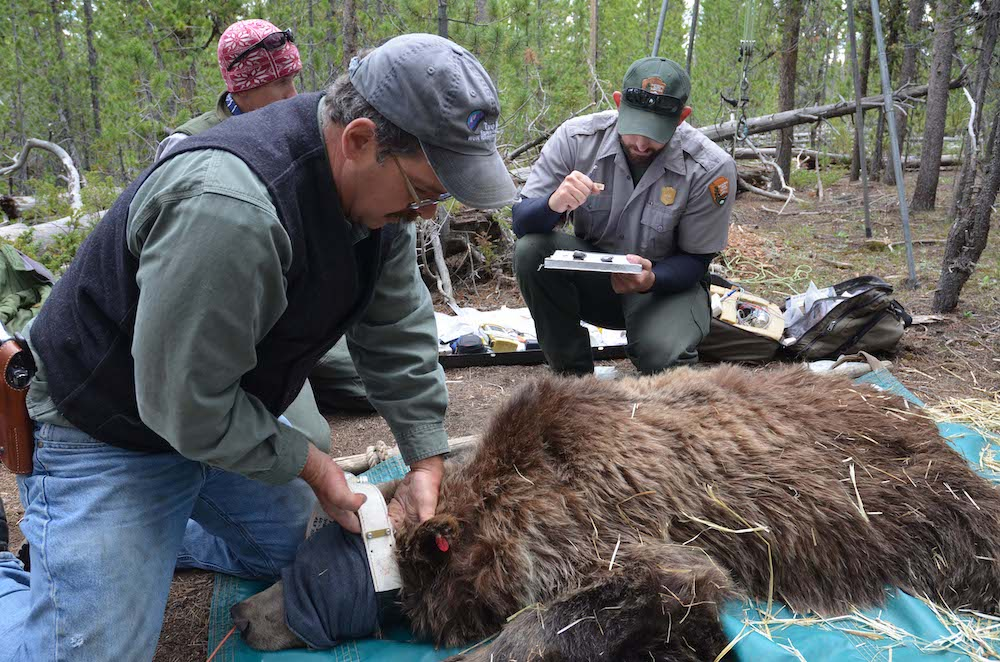 2020 grizzly count slips; humans involved in most deaths