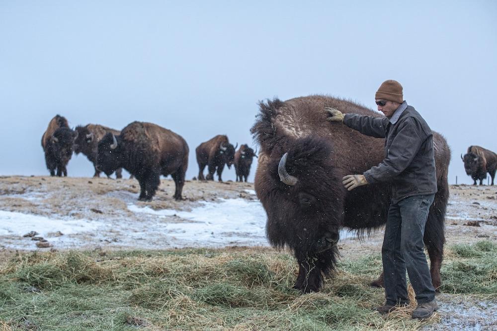 Bison whisperer