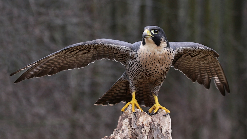 Falcons and the tower