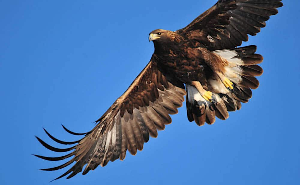Proposed project would trap, move, track lamb-hunting eagles