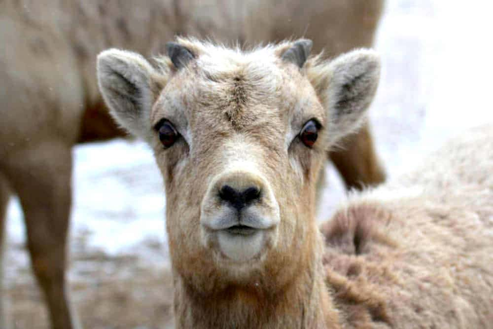 Forest Service moves to weaken bighorn protections in Wyo Range