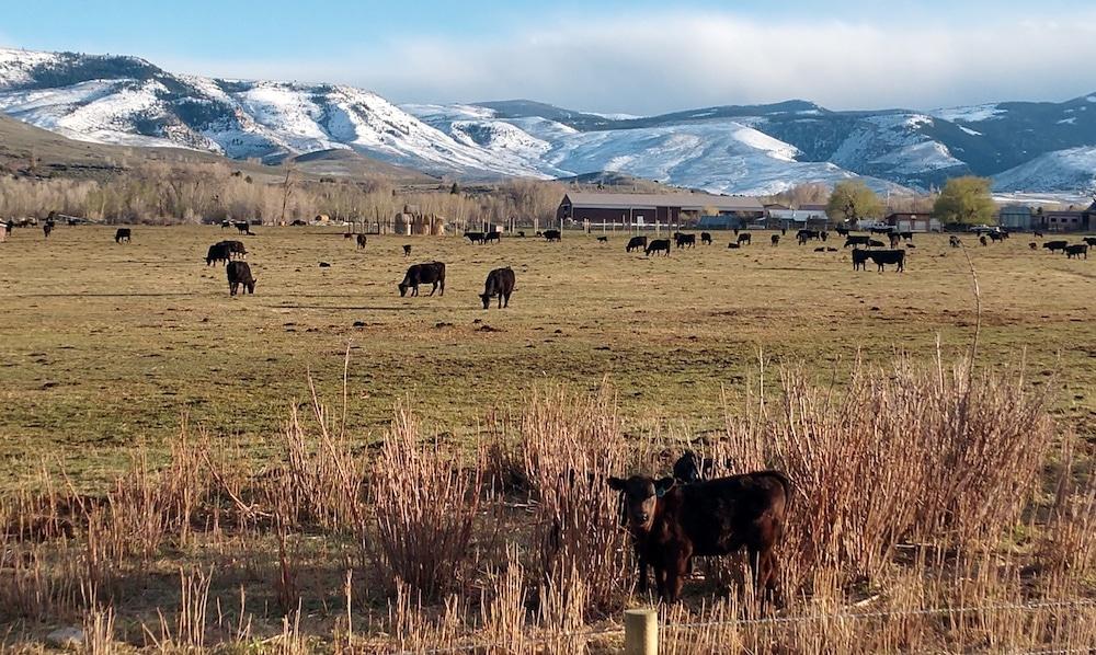 Federal policy could undermine Wyo cattle ID legislation