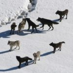 A close encounter with wolves and fear